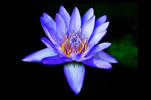 c27-WaterLily.jpg